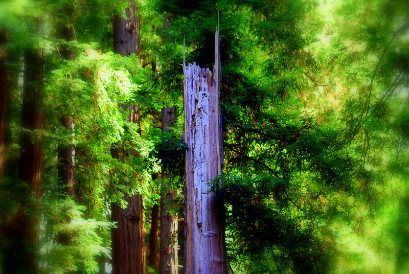 Blurred Point, Miur Woods State Park which is north of San Francisco.