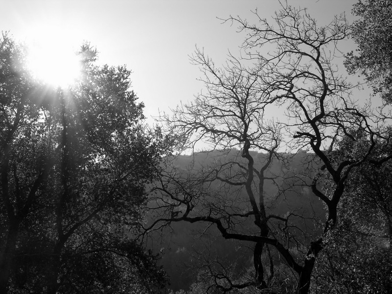 Los Altos Hills Hill, CA.  When I participated in volunteer work in 2007-2008, we went up to Los Altos Hill for a silent retreat.  I photographed this tree while on a hike.
