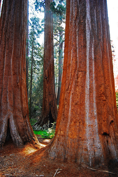Shining Giants, Sequoia National Park
