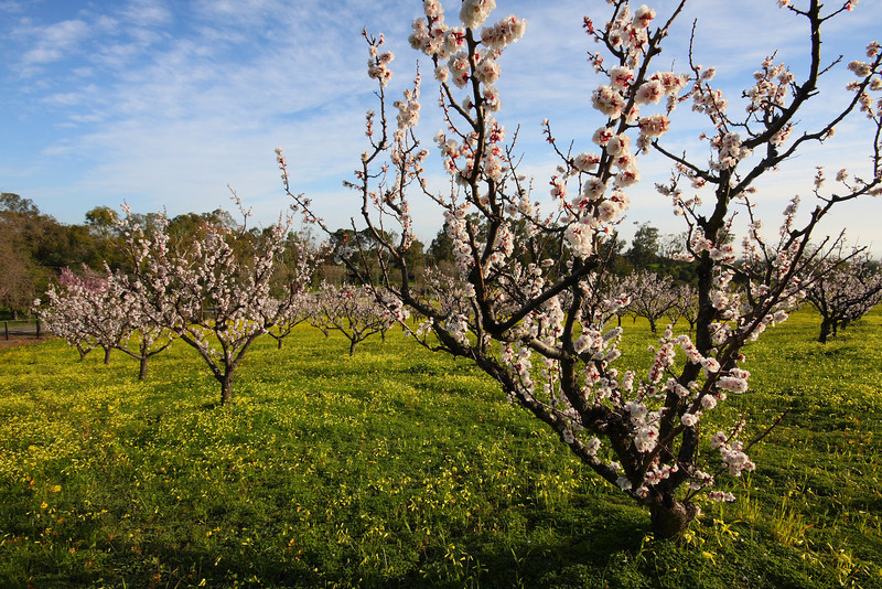 Apricot Orchard in Bloom