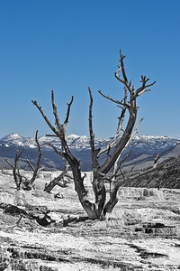 Dead Tree at Mammoth Hot Springs