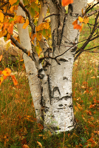 Zippel Bay State Park - Birch Tree - 01