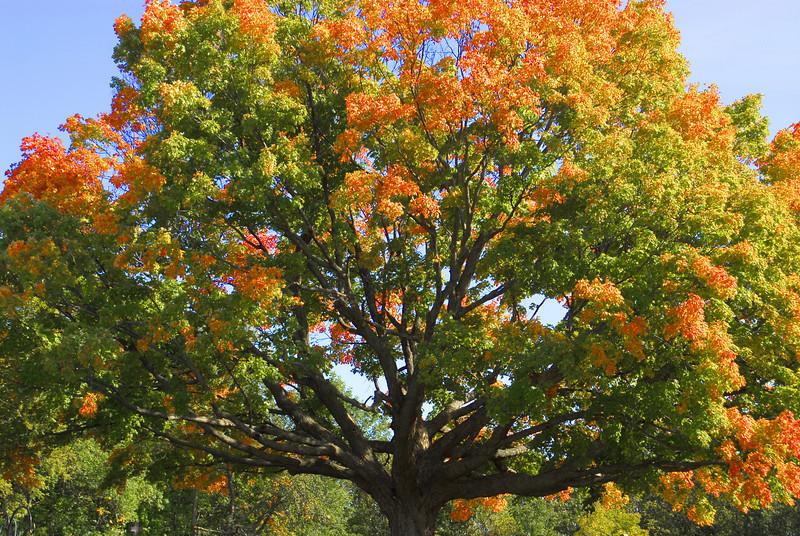 Fall Maple - 03