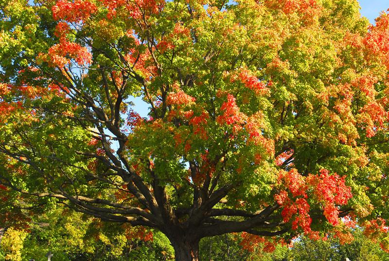Fall Maple - 04