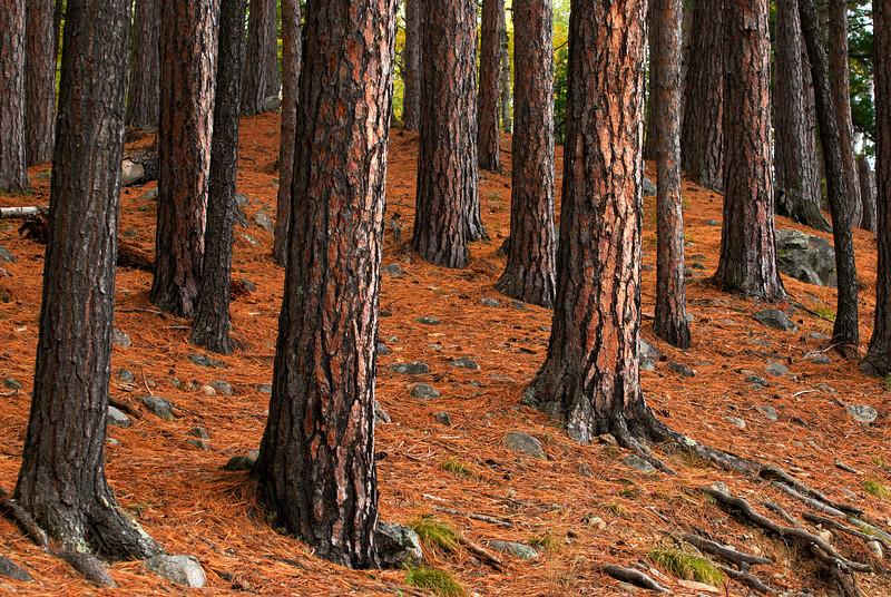 Bear Head Lake State Park - Red Pine