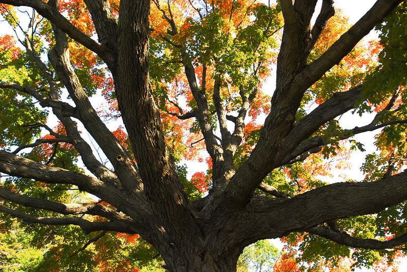 Fall Maple - 05