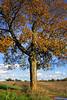 Fall Tree - 01