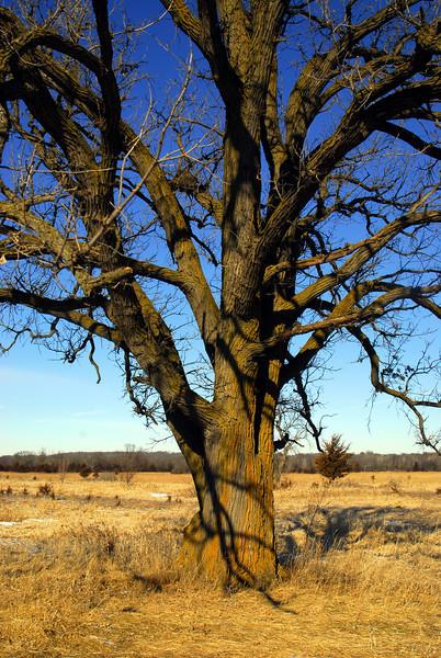 Tree - Scott Co.