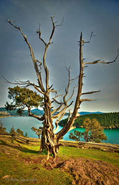 Washington Park Tree, Anacortes, WA