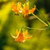 22  G Tiger Lilies V
