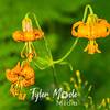 20  G Tiger Lilies