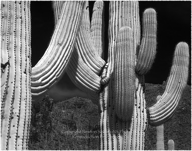 Infrared Cactus Tucson, Arizona