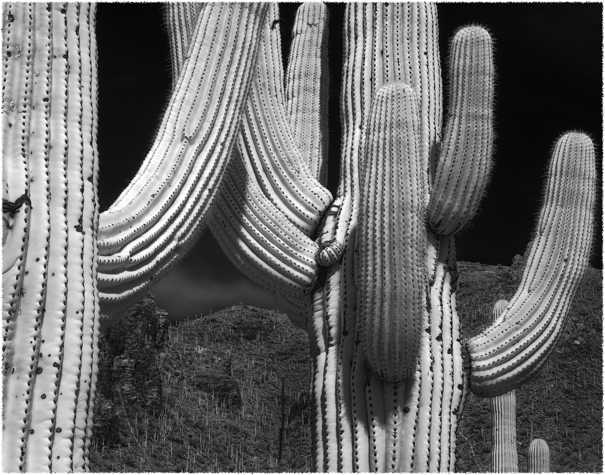 Infrared Cactus<br /> Tucson, Arizona