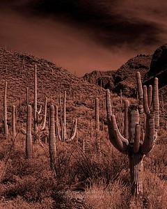 Sepia Cactus Tucson, Arizona