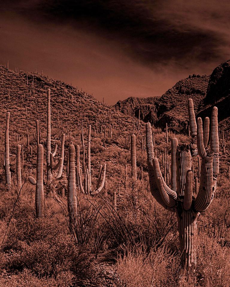 Sepia Cactus<br /> Tucson, Arizona