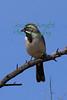Black-throated Sparrow in Tucson, Arizona ,Bird3582