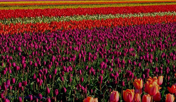 Skagit Valley Tulip Festival, Mt Vernon, WA