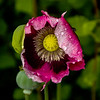 Poppies in the rain