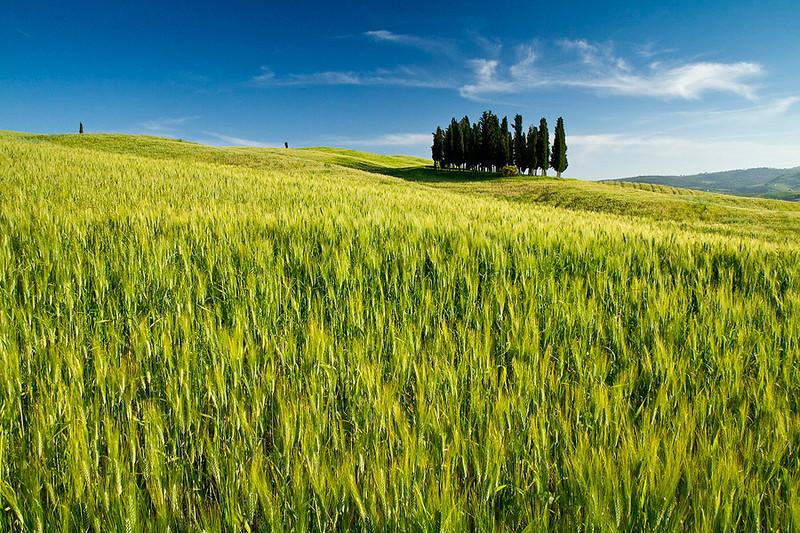 A group of cypress trees near San Quirico, Tuscany, Italy.