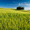 A group of cypress trees near San Quirico, Tuscany, Italy.