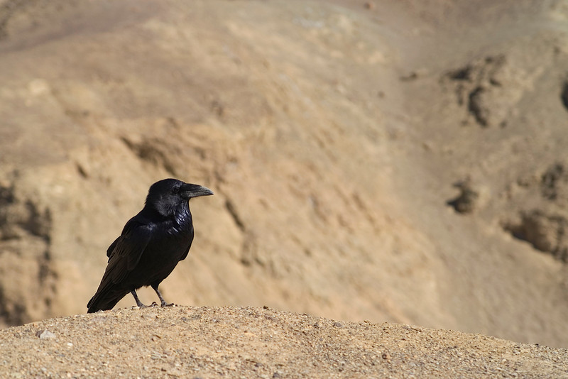 Raven - Death Valley - California