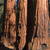 Sequoia NP - on the General Sherman Trail