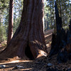 Sequoia NP - Burned Sequoia in Giant Forest