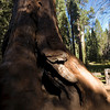 Sequoia NP - Sequoias in Giant Forest