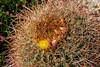 Ferocactus spec.