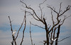 Heron in a bare tree, Bombay Hook Nature Preserve.