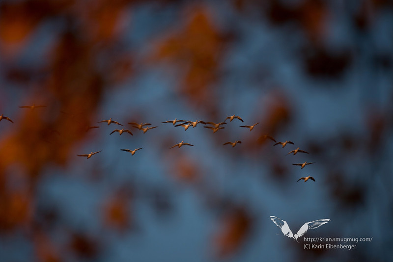 November 2011. Snow geese and fall foliage.