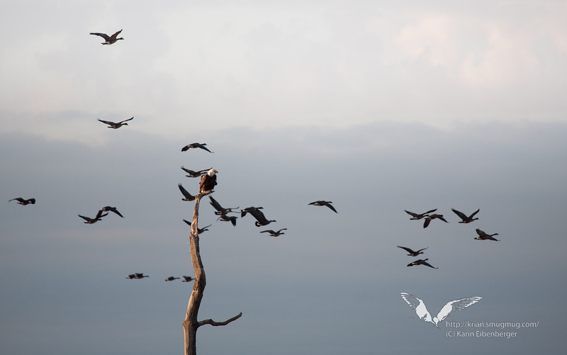 January 1st, 2012. Blackwater National Wildlife Refuge. Bald Eagles and Canada Geese.
