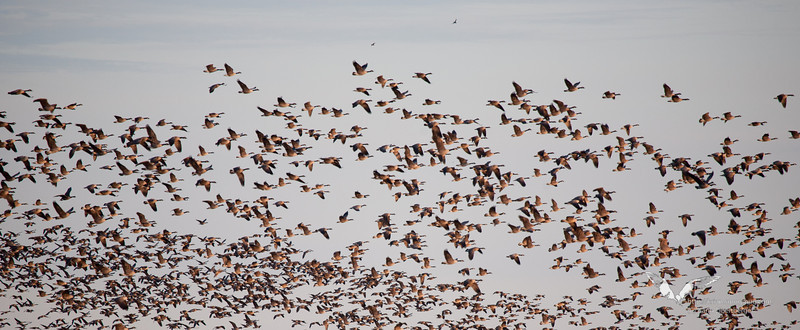 January 1st, 2012. Blackwater National Wildlife Refuge. Thousands of Canada Geese in the air.
