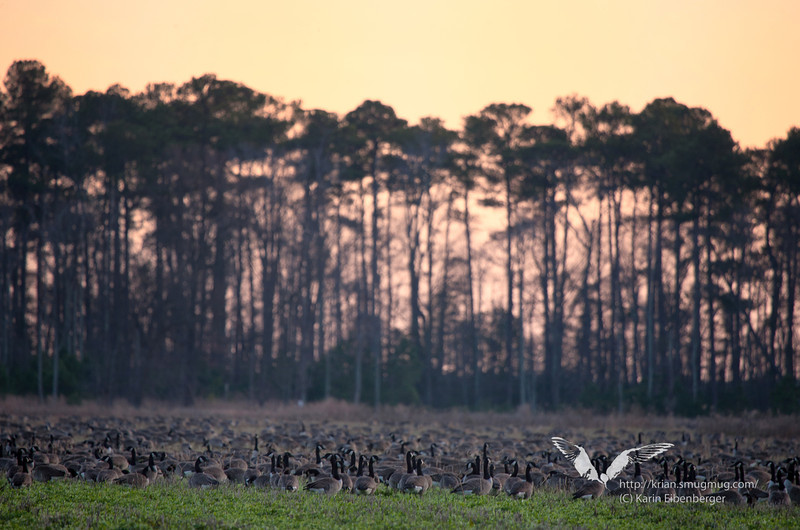 January 1st, 2012. Blackwater National Wildlife Refuge. Sunset and thousands of Canada Geese.