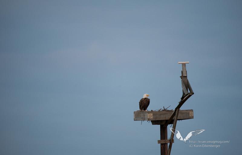 January 1st, 2012. Blackwater National Wildlife Refuge. Bald Eagle.