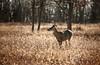 November 2011. Deer on Big Meadows, Shenandoah National Park.