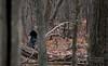 November 2011. Black bear mother with three cubs. Shenandoah National Park.