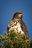 Immature Bald Eagle, Reifel Bird Sanctuary, Vancouver
