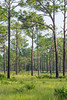 Wetland pine and palm forest at Babcock-Webb WMA in Fort Myers, Florida, August 2017. [Babcock-Webb WMA 2017-08 011 FortMyers-FL-USA]