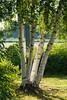 Tree in early morning light at Gordon College, Massachusetts, July 2015. [Boston 2015-07 004 MA-USA]
