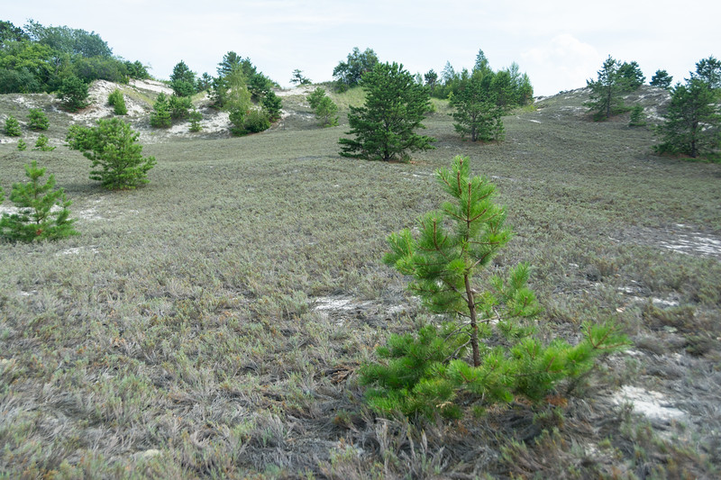 Dune plant community with Pitch Pines at Crane Beach (Essex) near Boston, Massachusetts, July 2015. [Boston 2015-07 013 MA-USA]