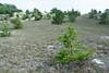 Dune plant community with Pitch Pines at Crane Beach (Essex) near Boston, Massachusetts, July 2015. [Boston 2015-07 013 MA-USA]