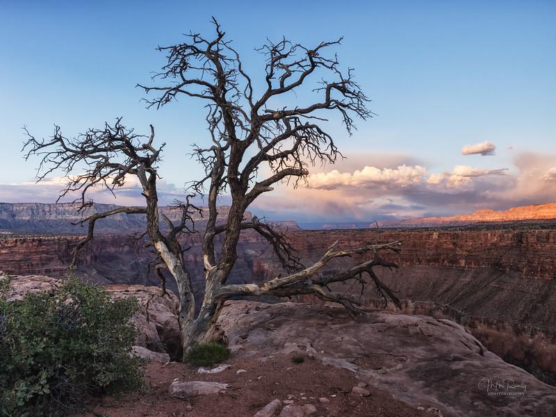 Toroweap tree