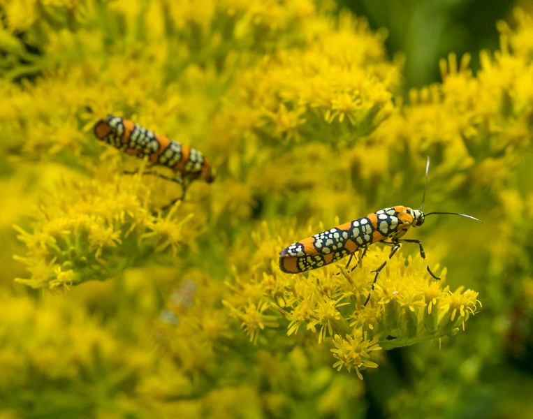 Alianthus Webworm, Duke Farms, New Jersey