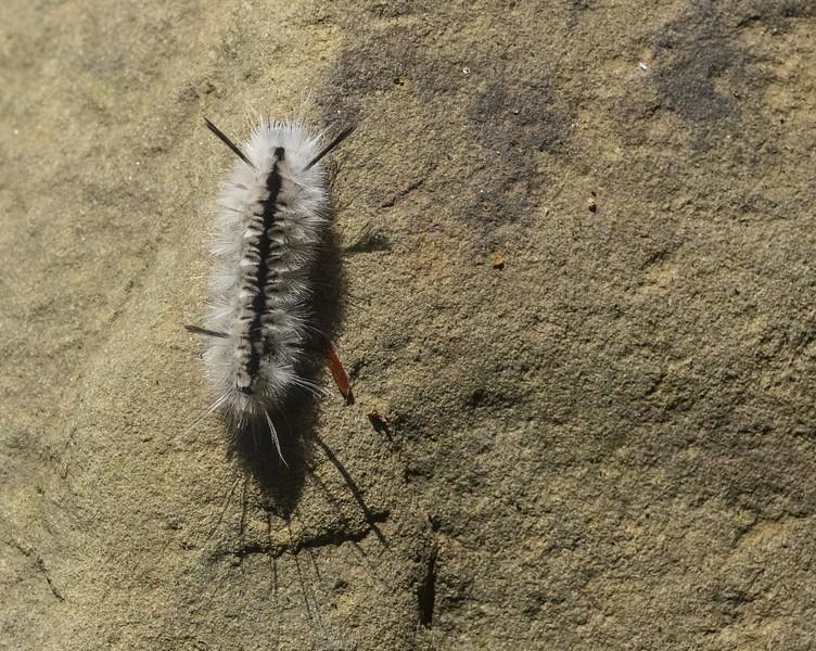White Hickory Tussock Moth caterpillar, Rock Run, Pa
