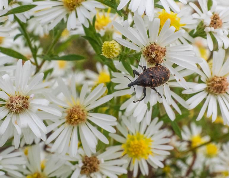 Brown speckled weevil of some kind