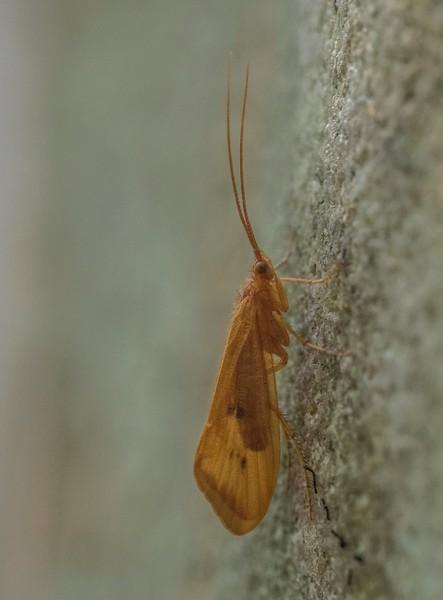 Orange moth (Virbia??): Rock Run, Pa