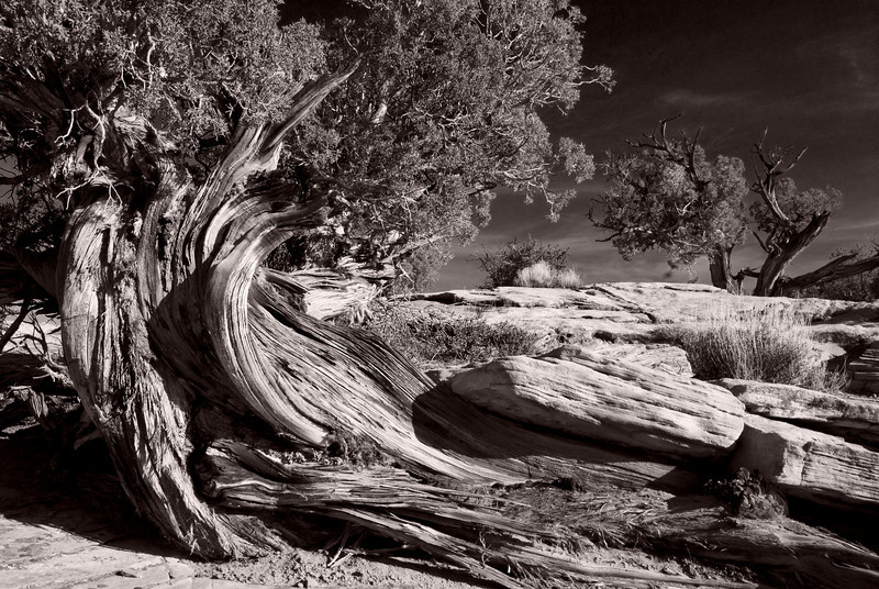 Old Juniper - Dead Horse Point State Park