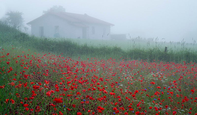 Inspired By Monet - Wild poppy with a farm house emersed morning mist, Norcia, valnerina, Umbria, Italy.