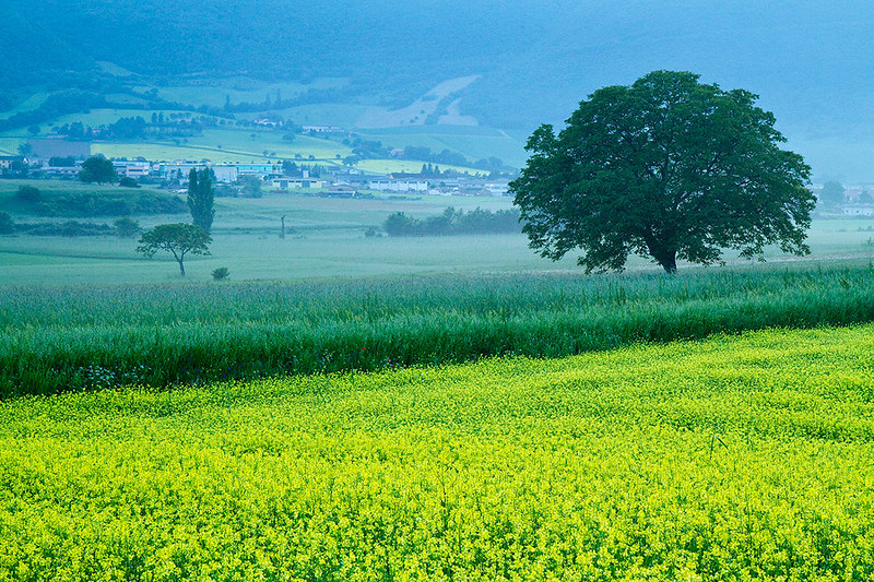 Dream of Umbria - Yellow wild flowers with a lone tree, Norcia, Valnerina, Umbria, Italy.